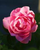 Lovely Rose  — Stock Photo