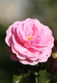 Photo beautiful pink rose — Stock Photo