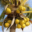 Ripe coconuts on the palm — Stock Photo #70948189