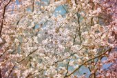 Background cherry blossoms — Stock Photo