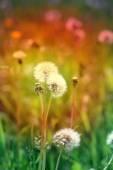 Beautiful dandelion flowers  — Стоковое фото