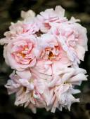 Background pink roses — Stock Photo