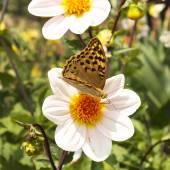 Weiße Dahlien im Garten mit Schmetterling, bunt — Stockfoto