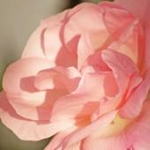 美しいピンクのバラ — ストック写真