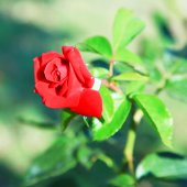 The bud of a red rose in the garden — Stock Photo