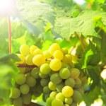 Fresh Green grapes on vine. Summer sun lights — Stock Photo #80935844
