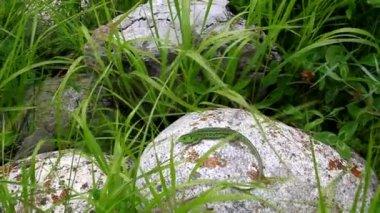 Green lizard lies basking on a rock in the grass — Vídeo de Stock