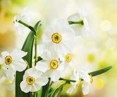 White Daffodils — Foto de Stock