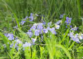 Wild Violets in the Grass — Stock Photo