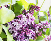 Lilac.Purple Spring Flower — Stock Photo