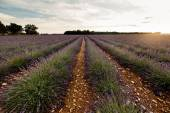 Lavender flower blooming fields — Stock Photo