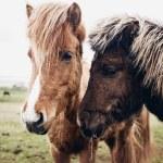 Icelandic horses — Stock Photo #53883525