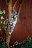 Koala Bear on a tree — Stock Photo