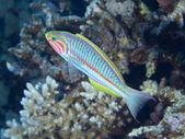 Coral fish Klunzinger wrasse — Foto Stock