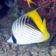 Coral fish Threadfin butterflyfish — Stock Photo #58925725