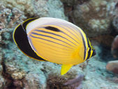 Coral fish Exquisite butterflyfish — Foto Stock