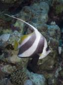 Coral fish Schooling butterflyfish — Stock Photo
