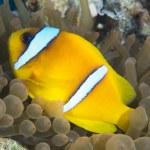 Red sea anemonefish — Stock Photo #61960133