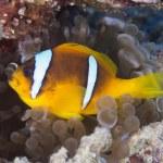 Red sea anemonefish — Stock Photo #61960181