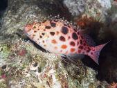 Coral fish Pixie hawkfish — Stock Photo