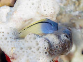 Red Sea mimic blenny — Stock Photo