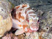 Coral fish Backtip grouper — Stock Photo