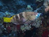 Coral fish Rusty parrotfish — Stock Photo