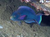 Coral fish Dusky parrotfish — Stock Photo
