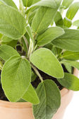 Sage in a terracotta pot — Stock Photo