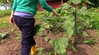 Gardener inspect large sunflower leaves yard — Stock Video
