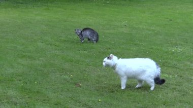 Two unfriendly cats meeting ended with escape in green park — Stock Video
