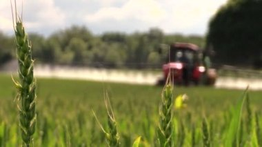 Wheat plants and tractor spray fertilize field with chemicals — Stock Video