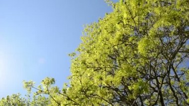 Turn view of green maple tree branch move in wind over blue sky — Stock Video