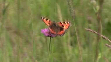 Small Tortoiseshell butterfly on bloom of pink flower in meadow — Stock Video