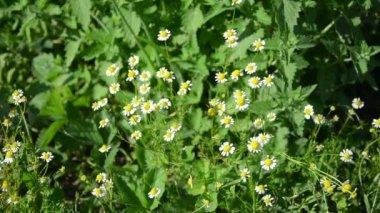 Healthy natural alternative medicine camomile flower blossoms — Stock Video