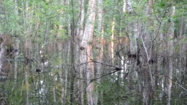 Inundation birch tree trunks and evening sunset reflections — Wideo stockowe