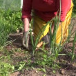 Zoom out of woman weed onion bed with hoe in vegetable garden — Stock Video #52556885