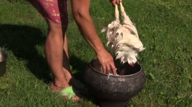 Farm worker woman hands pick pluck broiler chicken hen feathers — Vidéo