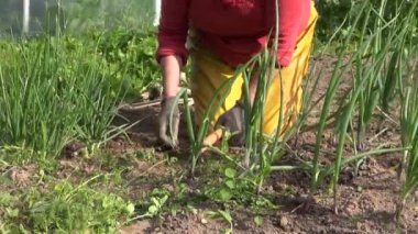 Zoom out of woman weed onion bed with hoe in vegetable garden — Stock Video