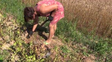 Peasant woman harvest dig eco potato in farm land — Stock Video