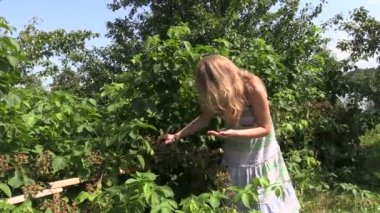 Pregnant woman gather and eat blackberry from twig in garden — Stock Video