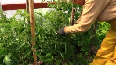 Countrywoman hand bind large tomato bush to stick — Stock Video