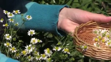 Young pregnant girl gather chamomile herb plant blooms — Stock Video