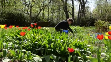 Girl work in garden between yellow and red color tulip flowers — Stok video