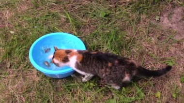 Man put crucian fisch in bowl, cat catch with claw and eat — Stock Video