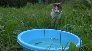 Hungry cute cat catch and eat fish from plastic bowl. Woman fish — Vídeo de Stock