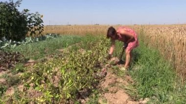 Farmer woman harvest dig natural potatoes with fork in field — Stock Video
