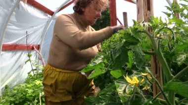Old senior gardener woman care tomatoes plants in greenhouse — Stock Video