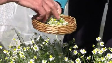 Grandmother with granddaughter gather herbal chamomile flowers — Stock Video