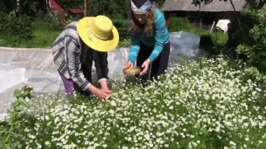 Senior with young granddaughter woman gather herbal chamomile — Stock Video